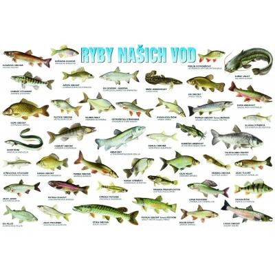 Plakát Ryby našich vod